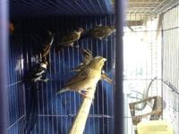 I have several pairs of Pin-tailed whydah for sale.