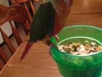 This is a 13 week old Pineapple Conure that was hand