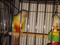 I have a female pineapple conure that is 7 months old