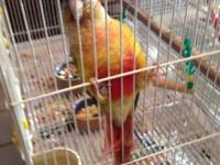 1 Pineapple Green Cheek Conure hatched May 25, 2014 was