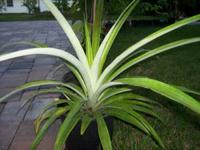 For sale are pineapple plants that will bear fruit any