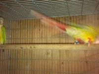 Pineapple Green-Cheeked Conure breeders. Had two