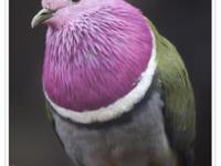 we ship! pink headed fruit doves for sale!