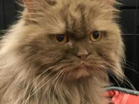 I am a female Persian.  I am about 8 years old and