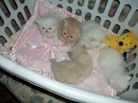 *** Adorable Persian Kittens *** Full Fluffy Coats ***