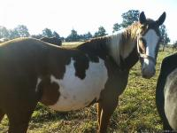 Cheyenne is a beautiful sorrel and white 6 yr old mare,