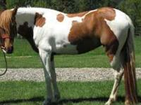Salina is a Beautiful Reg Chestnut and White Pinto Paso