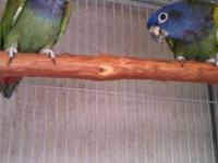 Blue Headed Pionus Breeder Pair. Best time to set them