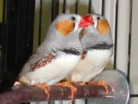 We couldn't get a picture of Pip, our male zebra finch