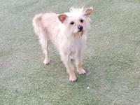 Breed: Cairn Terrier Mix Sex: Female Weight: 15lbs