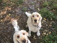 Pippa and Lilly are female purebred English Cocker
