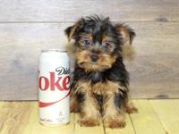 Commonly referred to as the Yorkie, the Yorkshire