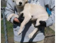 Kala is a 12 week old lab mix, weighing currently at