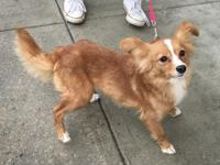 PIPPET is an adorable female Papillon/Chihuahua mix