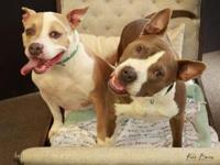 My story Phoebe & Pistol are an adorable pitty pair we