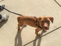 He American pitbull 11 weeks looking for a good home to