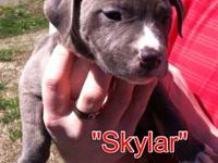 Pure breed American Pit Bull Terrier puppies. Born