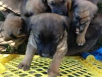 We have 10 pit bull / Chesapeake bay retriever dogs for