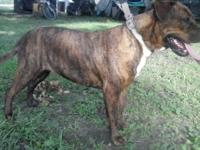 Beautiful 2 Year Old Brindle Pit Bull Female. Up to