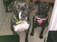 Hello! We are looking for a home for our 2 pit bull