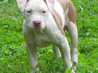 4 months old red and white UKC and ADBA registered,