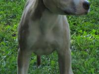 SHOW QUALITY Fawn and white female 4 months old, ukc