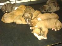 I have for sale 4 female pit bull puppies. We had a
