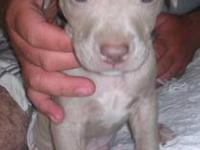 We have 4 puppies left. We have a blue fawn male, a