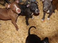 American Pit Bull Puppies- They are ADBA Register. They