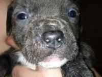 Full Blooded Pit Puppies will be 8 weeks old on Wed.