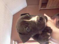 Red/Blue pit puppies. Mother is a Red nose an the