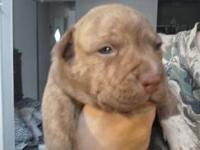 Pitbull puppies born January 17,2013. I have 2 left a