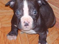 pit bull pups blues at 500 pet home or 1000 w papers