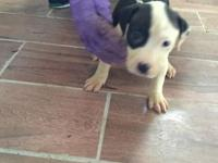 Beautiful white black and blue pit ill puppies great
