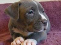 Beautiful Pit Bull Puppies. 8 weeks old. Great with