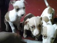 i am a owner of two female Pitbulls mother(red nose)