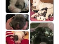 Young puppies for sale! We have adorable Pit Bull young