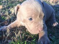 I have 8 stunning pit bull pups for sale. 4 females and