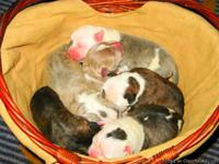 Beautiful Pit Bull puppies for sale...born