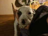 A litter of 11 pit bull young puppies for sale. 80.00