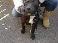 3 pit puppies cant keep them 3 months old - look a