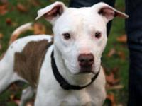 Pit Bull Terrier - 082-13 - Large - Adult - Male - Dog