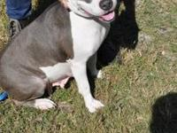 Pit Bull Terrier - 122 Layla - Medium - Adult - Female