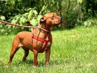 Pit Bull Terrier - 188 - Medium - Young - Female - Dog