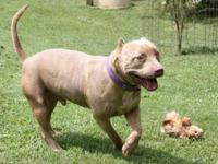 Pit Bull Terrier - 21521 Alex - Large - Adult - Male -