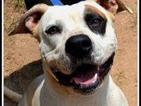 Pit Bull Terrier - 32429 Cowboy - Large - Young - Male