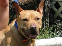 Pit Bull Terrier - 82509 - Medium - Adult - Female -