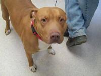 Pit Bull Terrier - 8530 Taffy - Medium - Adult - Female