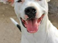 Pit Bull Terrier - 8591 Captain - Medium - Adult - Male