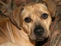 Pit Bull Terrier - A099764 - Medium - Adult - Female -